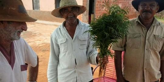 agricultores-baianos-com-erva-contra-dengue-zika-chikungunya-40